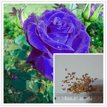 200PC natural luminous rose seeds. Magical flower seeds. Night view of the most beautiful flowers