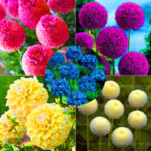 100pcs/pack Blue Globe Thistle (Echinops Ritro) Flower Seeds Allium Seeds Beautiful Flower Seeds Potted Plant for Home Garden