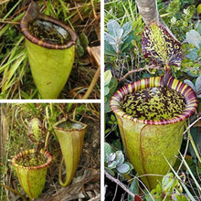 Nepenthes Seeds,Easy to plant # ZLC002 - 100pcs/lot