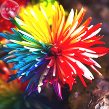 BELLFARM Cute Rainbow Chrysanthemum Livingstone China Aster Seeds, 100 Seeds, garden plant flowers E3560