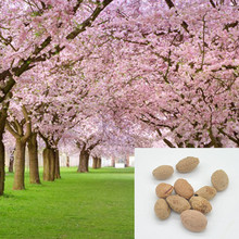 1 pack about 10 pieces Pink Cherry Blossoms tree Seeds Sakura Seeds,Colour cherry Blooming Plants Free Shipping QQ