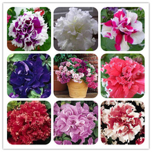 Free shipping 300PCS Seeds Pan-american n Flower Petunia Petals Double Waterfall pluguglies Flower seeds Home Garden Bonsai set
