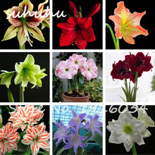 80 Pcs Amaryllis Seeds Cheap Amaryllis Seeds, the Barbados Lily Seeds Pot, Bonsai Balcony Flower For Home Garden Planting