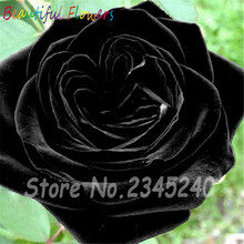 100 Seeds/pack Rare Holland Black Rose Seeds Flower Home Garden Rare Black Rose Flower Seeds Free shipping