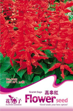 1 Original Pack, 30 seeds / pack, Salvia RED ROCKET HOT JAZZ Salvia Splendens Height up to 60cm #A055