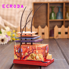 ECRODA  model of human skin and hair of human organs Assembling human skeleton anatomical model kids learning toys