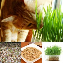 High Quality 800pcs/bag cat grass Wheat seeds Helping Digestive Including Growing Guide cat seed Lovely Plant For Pet(China)