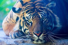 Asian tigers wild animals take pictures poster Print Waterproof Canvas Fabric art Wall Decor 12x18 in Custom Print(China)