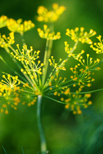 3 Packs Of Dill Seed / 1 Pack 30 Seeds Anethum Graveolens Cumin Aromatic Plants Herb Garden Seeds Hot D005