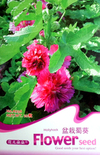 20 Hollyhock Flower Seeds attractive impressive fragrant Low Budget DIY Backyard A036