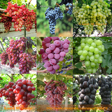 9 Packs(10 Seed/Pack)=90 Seed Mixed Grape Seed, Heirloom Manicure Finger Grapes Organic Fruit Seed For Garden Plant-Land Miracle