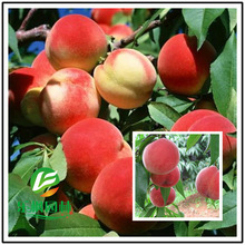 Wang peach fruit wholesale ninety-nine seed varieties taste good fruit quality peach seed 3 seeds / pack