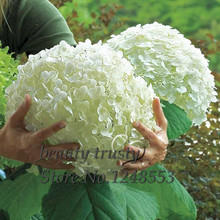 Promotion!!! 100 pcs / bag White Hydrangea Flower seeds,Pure color ,lasting,gorgeous balcony or yard flower plant(China)