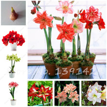 Buy Amaryllis Bulbs,Hippeastrum Bulbs Bonsai Flower Rhizome Amarilis Rizomas Bulbos Barbados Lily bonsai garden planta -2 bulb for $1.96 in AliExpress store