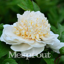 Precious China Peony Flower Seeds Potted Flowers Bonsai Plant Seeds for Home Garden 10 particles / lot(China)