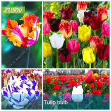 Buy ZLKING 2 Pcs Rare Tulip Bulbs (Not Tulip Seeds) Bonsai Beautiful Perennial Ture Fresh Flower Bulb Home Garden Root Plant for $1.70 in AliExpress store
