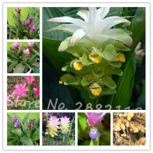 Rhizoma Curcuma Seeds 50pcs Turmeric Seed Food Seasoning Antibiosis Bonsai Flower Plants Home Garden Free Shipping