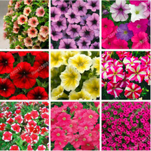 100pcs Mixed Petunia Flower Seeds 8 Different Kinds of Petunia to Select Easy to Grow for Home Garden