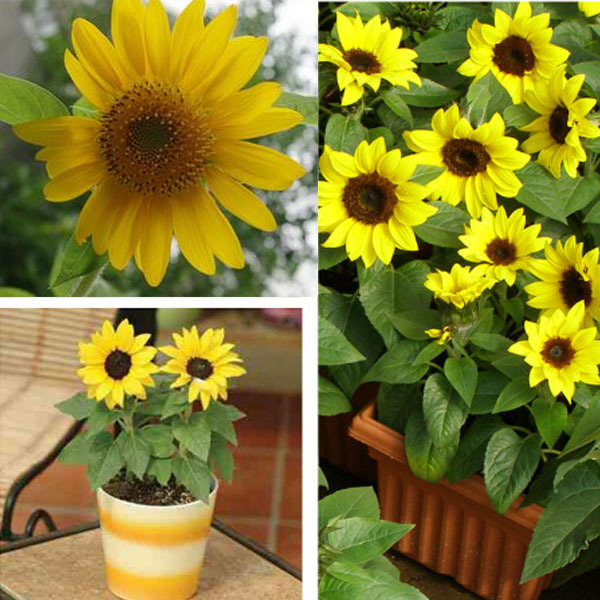 Cheap wholesale potted dwarf sunflower seeds,Color packaging seeds-about 20 particles(China (Mainland))