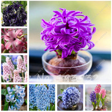 Hot sale!Hyacinth Bulb,Free shipping cheap perfume Hyacinth Bulb, mixing different color - 2 Hyacinthus Orientalis Bulb