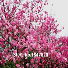 60pcs/pack Pink Cherry Blossoms tree seed +secret gift flower Seeds bonsai . DIY for home and garden