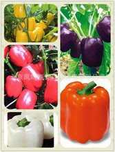 Pepper seed imports - white , orange , red , yellow , purple colored dress mix 100seed