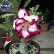 BELLFARM 'Cyclone' Double Adenium Desert Rose, 2 Seeds, white petals with rose red edge E3982(China)
