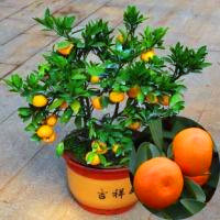 11.11Special products!20 pcs bonsai Edible Fruit Mandarin orange seeds NO-GMO mini bonsai tree Balcony Patio Potted Fruit Trees