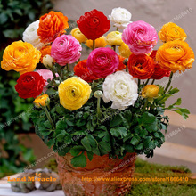 Rare Bonsai Persian Buttercup Seed, 50 Seeds/Pack, Mixed Ranunculus Asiaticus Flower Seeds Annual Balcony Plant