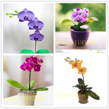 Phalaenopsis seeds, 50 pcs rare mini orchid flower seeds for home decoration easy grow
