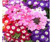 Verbena seeds,Verbena Hortensis, Rare Bonsai flower seeds for Indoor balcony 20pcs(China)