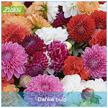 ZLKING 2 Pcs Chinese Dahlia Flowers Bonsai Bulbs Not Dahlia Seeds Easy To Grow Beautiful High Germination Rate Plant Potted Seed