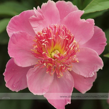 New 'Chen Xi' Double Petalled Pink Peony Tree Flower Seeds, Professional Pack, 5 Seeds / Pack, Light Fragrant Garden Flowers