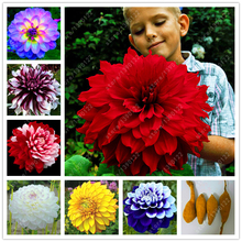 Real dahlia bulbs, dahlia flower, bonsai flower bulbs, (not dahlia seeds), perennial plant potted Bulbous Root for garden 2 pcs
