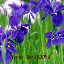 Sale!Free Shipping 100 White Iris Seeds,beautiful Perennial cut flowers and potted plants for home garden,Low maintenance