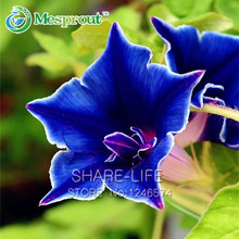 50 PCS Morning Glory Seeds, Garden Home Bonsai Balcony Flower Morning Glory Garden Plants Flowers for Home&garden
