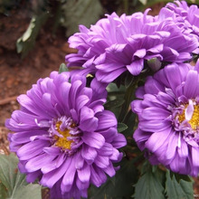 120 pcs Purple Chrysanthemum Callistephus Flower Seeds Balcony Potted Bonsai Plant Flower Seeds Aster Seed High Germination Rate