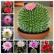 On Sale!! 500 Rare African Cactus Seeds Mixed Succulent tree Plant Purify Air Bonsai Resistant Heat Easy Care Creative + Gifts
