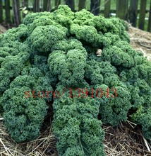 200pcs/bag Earthcare Seeds Kale Blue Scotch Curled vegetable seeds Courtyard plant for home & garden(China)