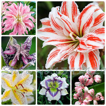 lily seeds, cheap perfume lily seeds, Yellow White Red Pink Purple Lily Flower Garden Plant - Mixing different varieties 100pcs(China)