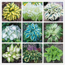 100 pcs/bag hosta plants seeds, Perennial Plantain Lily Flower Ground Cover flower seeds,precious hosta seeds home garden plant(China)