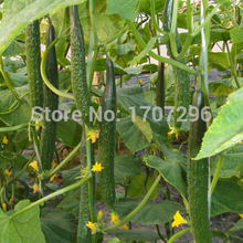 Hot selling Dutch cucumber seeds, high disease resistance low temperature - 20 pcs / lot(China)
