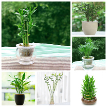 60 pcs Lucky Bamboo Seeds Can be Choose Potted  Variety Complete Dracaena Seeds the Budding Rate 95%