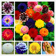 2 bulbs true dahlia bulbs, (not dahlia seeds), National flower of Mexico,Flower bulbs symbolizes good luck Bulbous Root plant