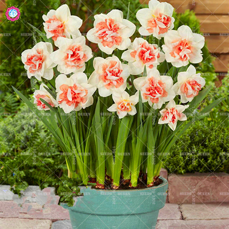 Best-Selling-Beautiful-Narcissus-Flower-Balcony-Plants-Daffodil-Seeds-Absorption-Radiation-Narcissus-Tazetta-Seeds-100-PCS_
