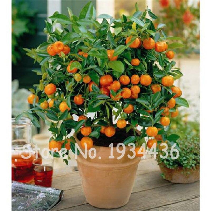 Best-Selling!100pcs//bag Balcony Patio Potted Fruit Trees Planted Seeds Kumquat Seeds Orange Seeds Tangerine Citrus,#8B9JQ4