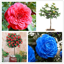 100% Real Common camellia seeds, (camellia japonica), bonsai flower seeds potted outdoor plants DIY for home garden 5 pcs/bag(China)