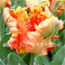 20 PCS/bag Rare tulip seeds(not tulip bulbs) Aroma tulip plants,flower seeds Exotic seeds potted plant for home & garden