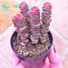 100pcs/ lot Lithops seeds rare Cactus plants Flower Seeds home Bonsai Diy plant Seed For Garden Decoration And men gift Sementes