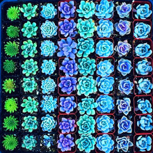 Semillas De Flores 200 lithops Seed Pseudotruncatella Succulents Raw Stone Cactus Seeds Stems Tetragonia Potted Flowers Fleshy